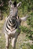Running zebra — Stock Photo