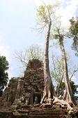 Ruinen von ansient tempel ang riesige baumwurzeln — Stockfoto