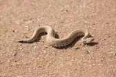 Snake in desert — Stock Photo