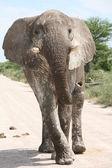 Attacking elephant — Stock Photo