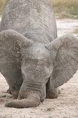 Elephant on knees — Stock Photo