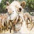 Camel glaring at the visitors — Stock Photo