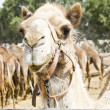 Stock Photo: Camel glaring at visitors