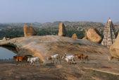 Hampi temple yakınındaki tepede inek — Stok fotoğraf