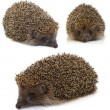 Stock Photo: Hedgehog. collage