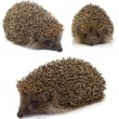 Hedgehog. collage - Stock Photo