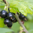 Black currant after the rain — Stock Photo