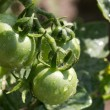 Green tomatoes in the garden after the rain — Stock Photo