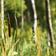 Reeds in the swamp — Stock Photo