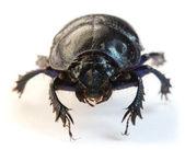Dung-beetle closeup — Stock Photo
