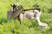 Two goats graze in the meadow — Stock Photo