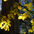 Sun streaming through forest lighting leaves of a tree - Stock Photo
