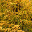 Elm tree showing its beautiful autumn colors — Stock Photo #5978820