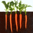 Carrots growing in soil — Stock Photo #5979593