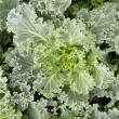 Crop of leafy green Kale growing - Stock Photo