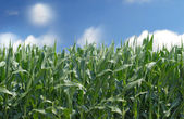 Cornfield against a blue sky with white clouds — Stock Photo