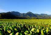 Taro field in Kauai Hawaii — Stock Photo