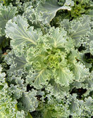 Crop of leafy green Kale growing — Stock Photo