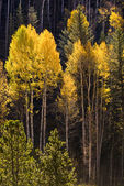 Colorful Aspen trees in Vail, Colorado — Stock Photo