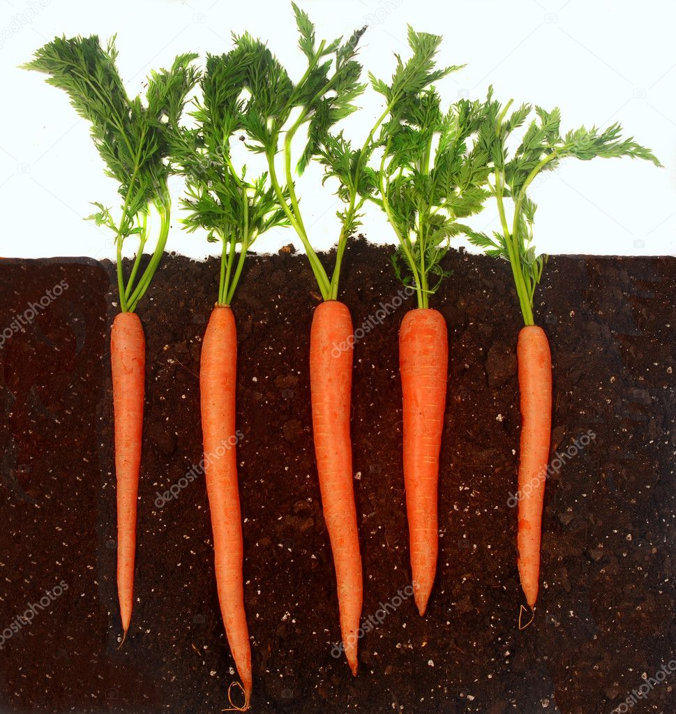 Organic carrots growing in rich dark dirt — Stock Photo #5979593