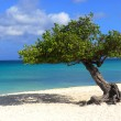 Divi Divi tree on Eagle Beach in Aruba — Stock Photo #6338550