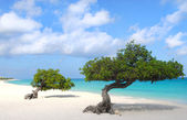 Divi Divi trees on Eagle Beach in Aruba — Stock Photo