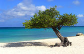 Divi Divi tree on Eagle Beach in Aruba — Stock Photo