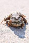 Kurbağalar çifti — Stok fotoğraf