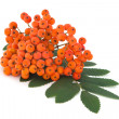 Ashberry bunch with leaves - Stock Photo