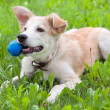 Puppy with a ball in his teeth - Stock Photo