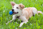 Puppy with a ball in his teeth — Stock Photo