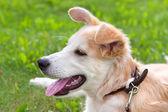 Cucciolo sdraiato su un prato verde — Foto Stock