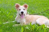 Retriever puppy — Stock Photo