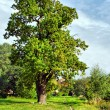 Oak-tree — Stock Photo