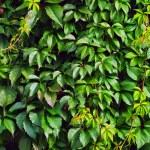 Зеленый плющ — Стоковое фото