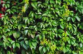 Zielony bluszcz — Zdjęcie stockowe