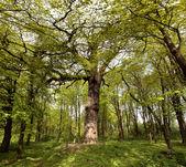 Wide tree — Stock Photo