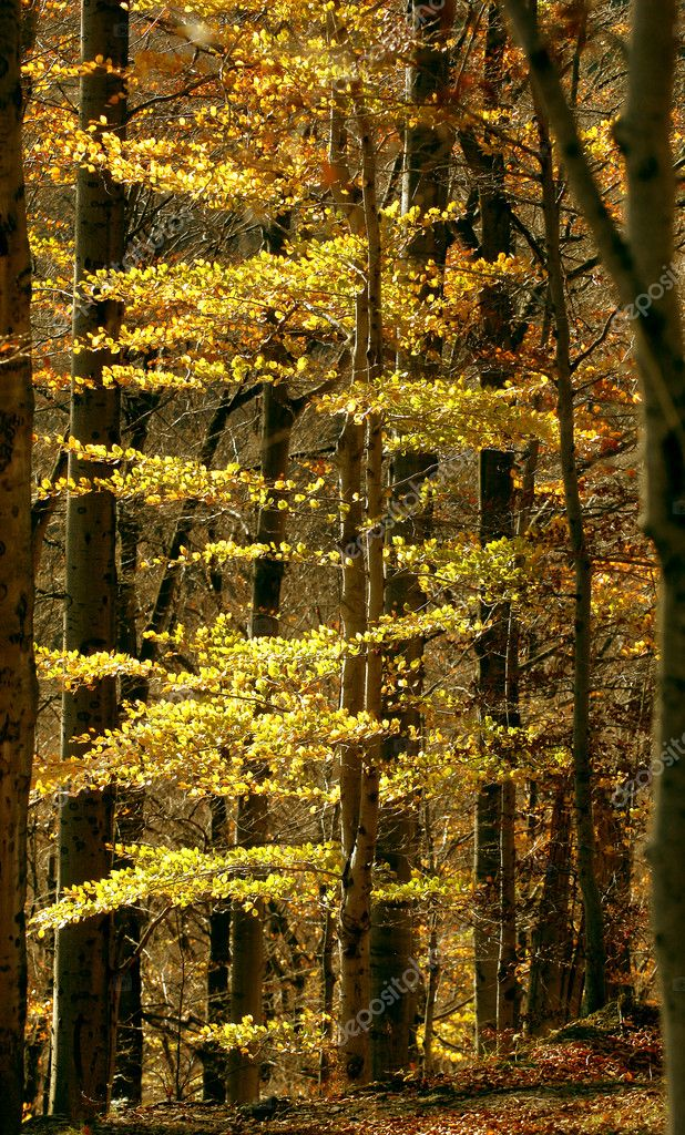 Autumn forest. direct high trees. yellow leaves — Stok fotoğraf #6001722