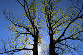 Double tree — Stock Photo