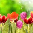 Tulips — Stock Photo #6019261