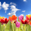 Tulips field — Stock Photo #6019274
