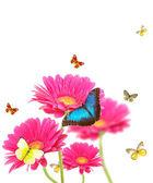 Gerber bloemen met vlinders — Stockfoto
