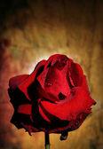 Flor rosa — Foto de Stock