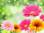 Colored gerberas flowers — Stock Photo