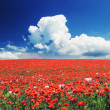 Blooming poppy field - Stock Photo
