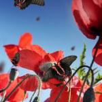 Butterflies in poppy field — Stock Photo #6267863