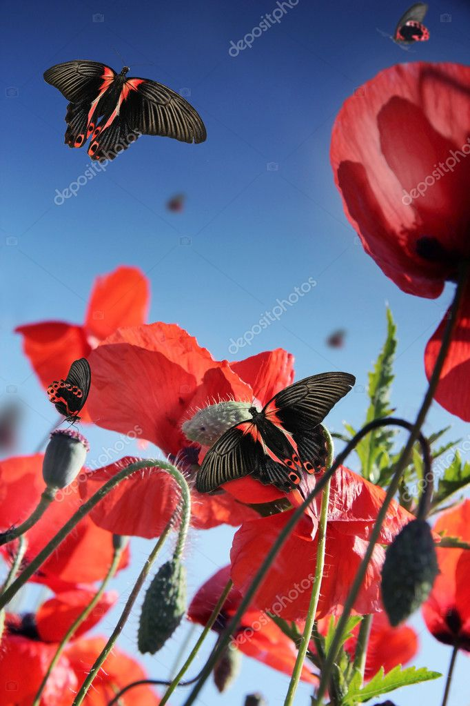 Exotic butterflies in poppy field, isolated on white background  — Stock Photo #6267863