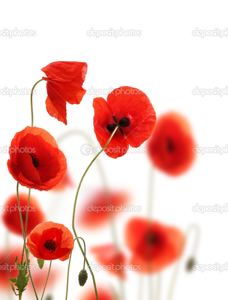 Poppy flowers field, isolated on white background — Stock Photo #6396288