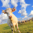 Cow herds — Stock Photo #6461403