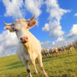 Cow herds — Stock Photo